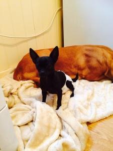 Chihuahua stud  Listing Image Thumbnail