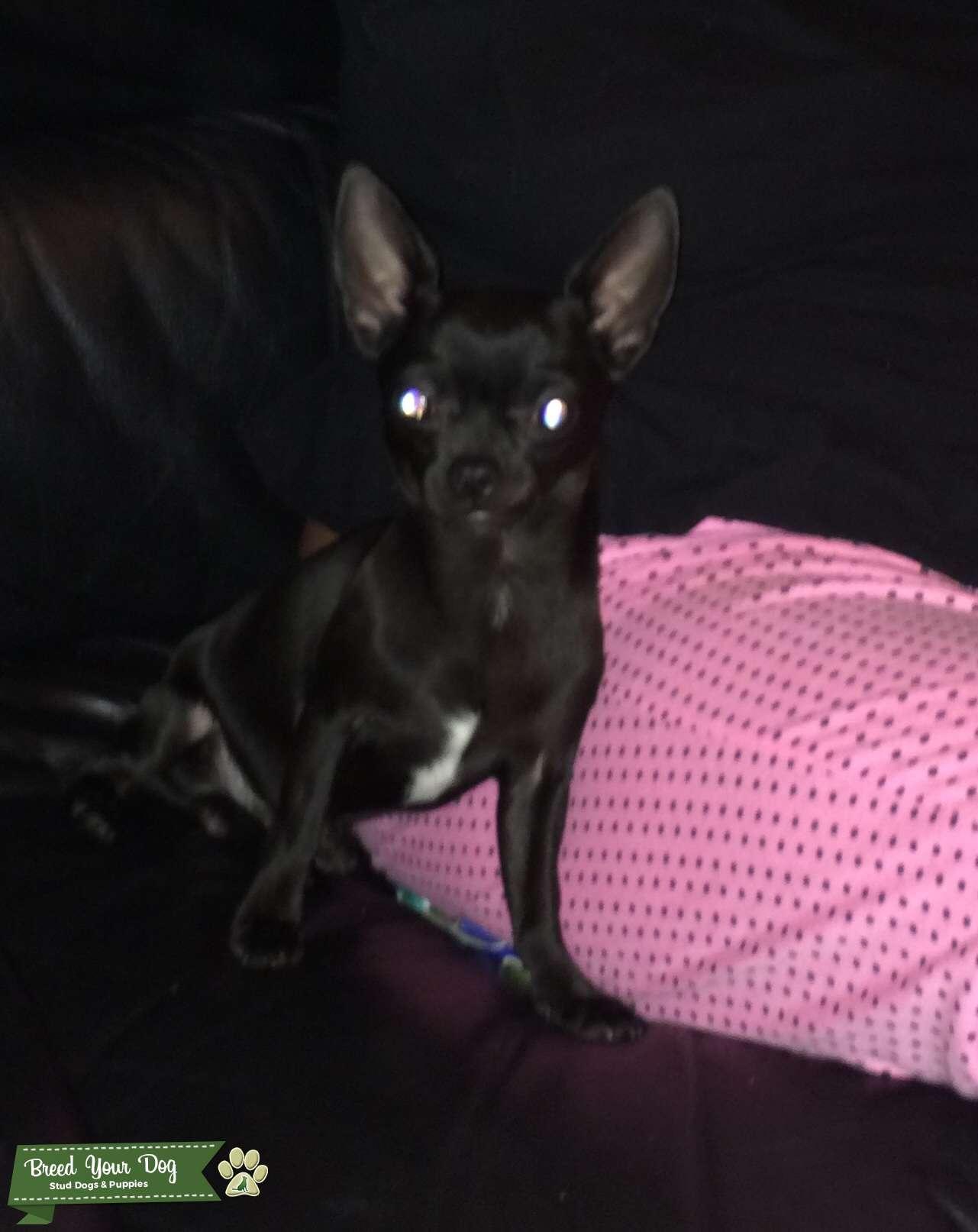 Chihuahua stud  Listing Image Big