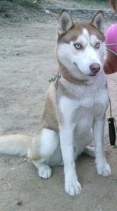 1 yo Gorgeous Pure Siberian Husky Ready to stud Featured Image