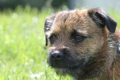 East Anglia - Ped. Border Terrier - Model Example of Breed Listing Image