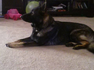 AKC GSD Stud Featured Image