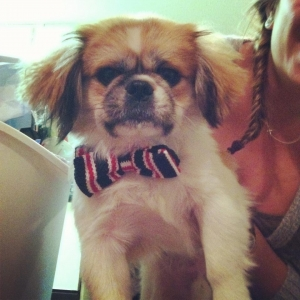 Male Brown and White Pekingese to stud Listing Image