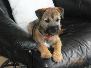 Handsome Red Grizzle Border Terrier Listing Image