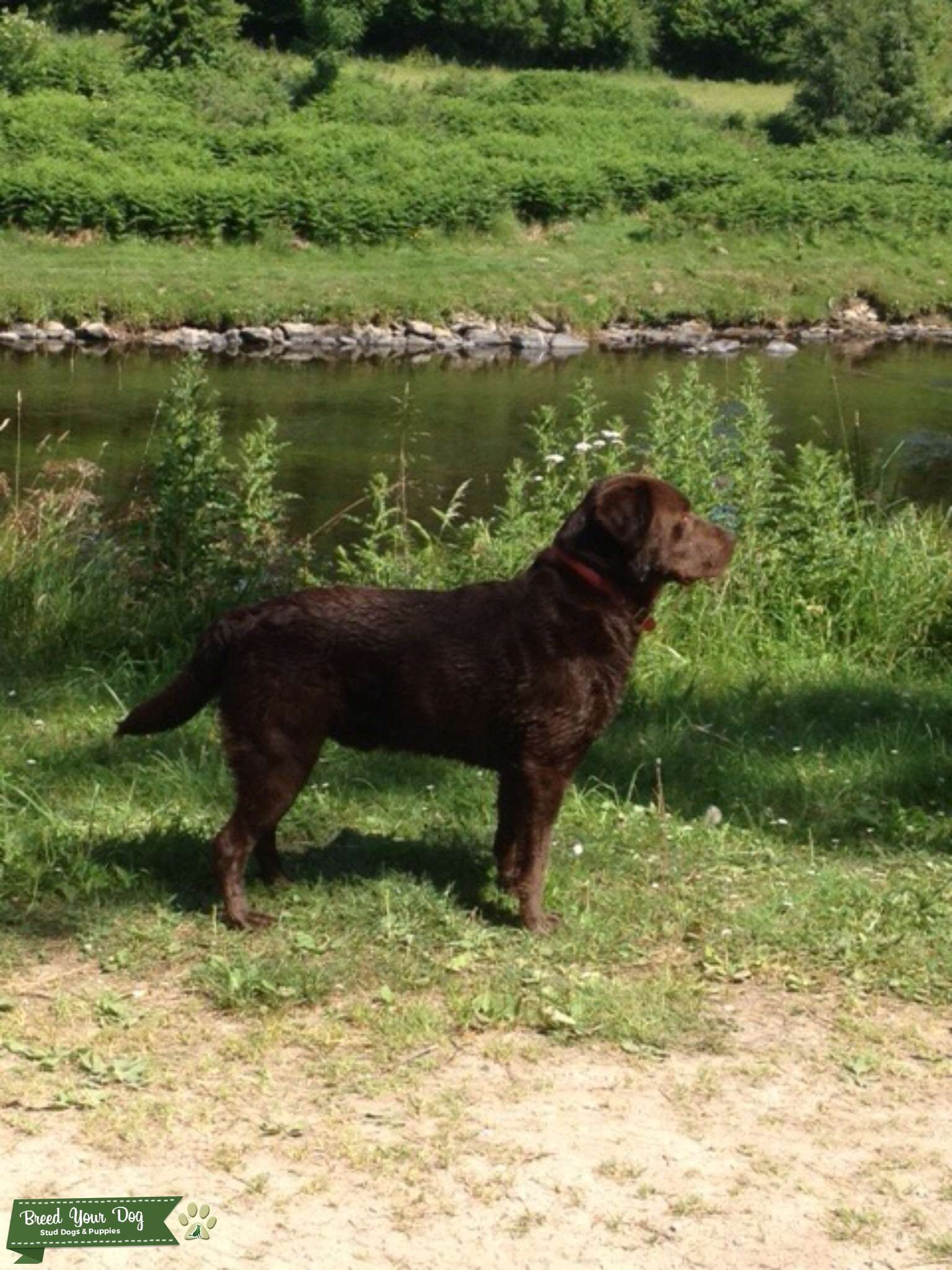 Chocolate Labrador  Listing Image Big