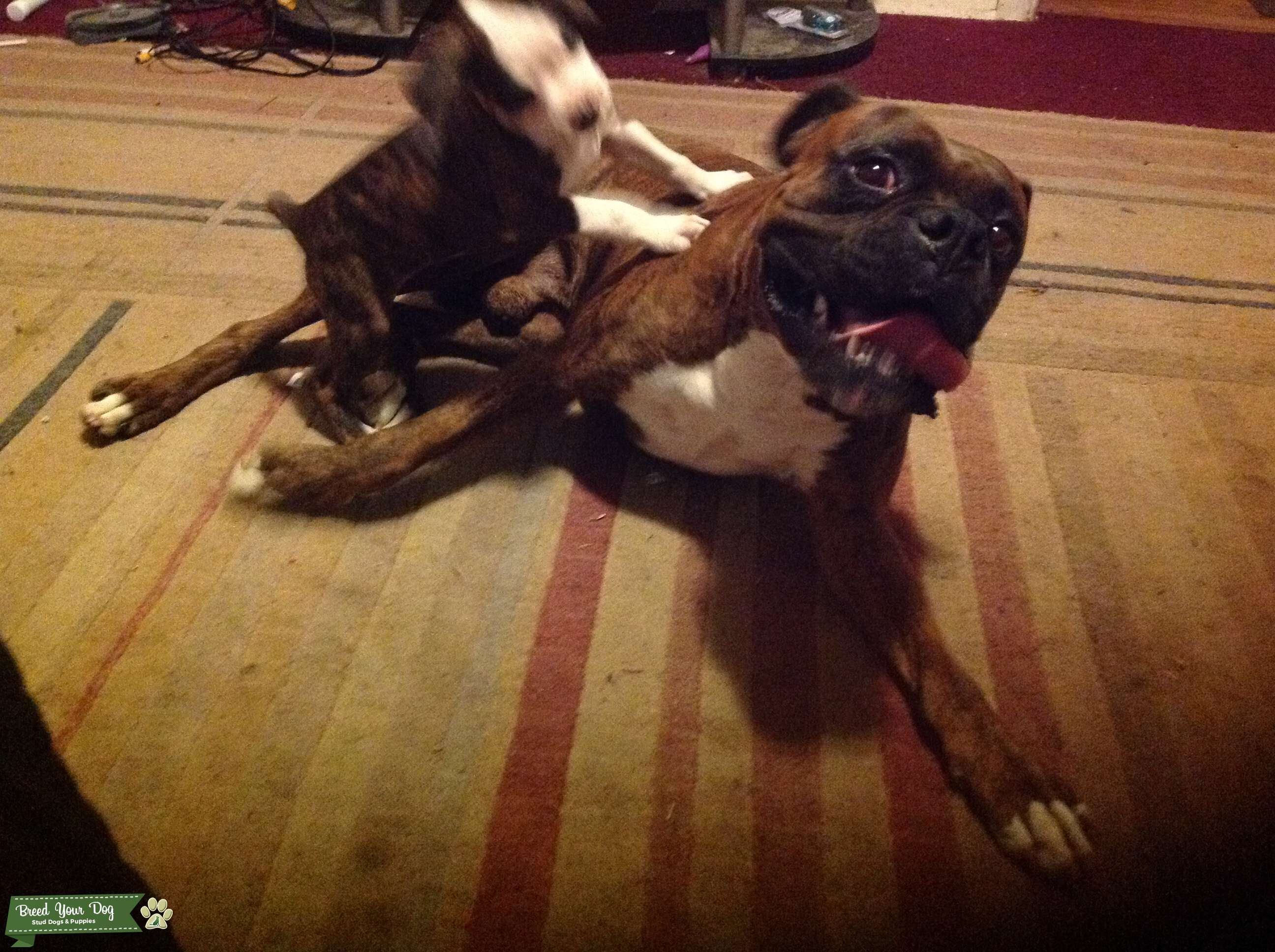Pure Breed Boxer (with papers) Listing Image Big