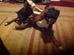 Pure Breed Boxer (with papers) Listing Image Thumbnail