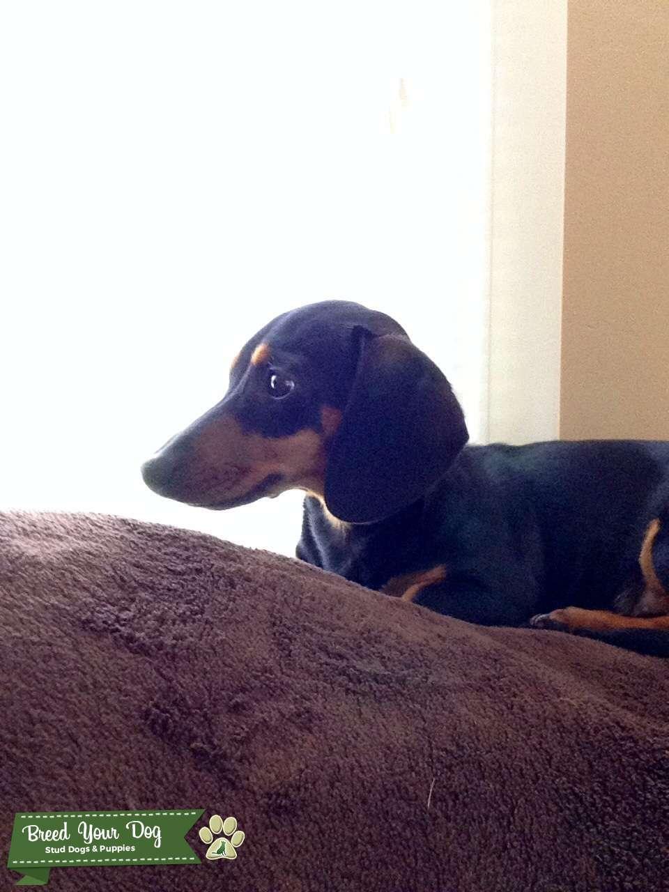 Stud Dog Black And Tan Short Hair Miniature Dachshund