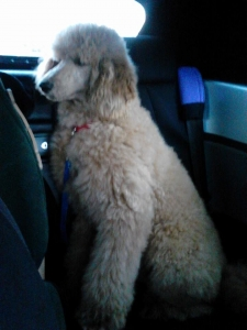 standard bred poodle registered Listing Image
