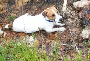 Perfectly Marked & Relaxed Jack Russell Listing Image Thumbnail