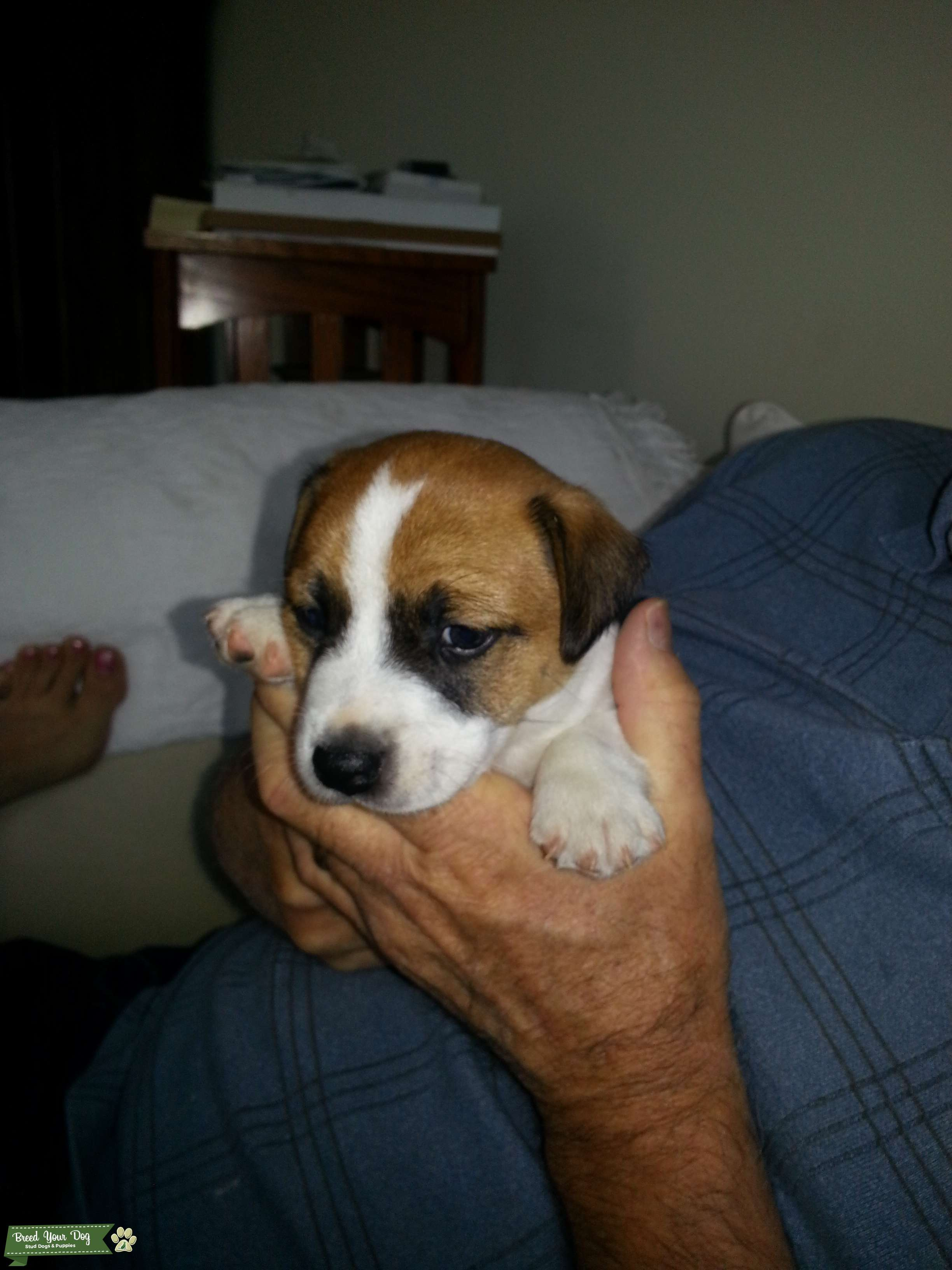Perfectly Marked & Relaxed Jack Russell Listing Image Big