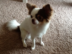 Just like Gizmo! Purebred long-hair Chihuahua Stud Service Featured Image