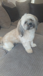 Lhasa Apso For Stud *£200* Featured Image