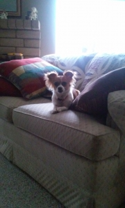 Adorable chihuahua! must look! Listing Image