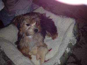 Cooper the Black and Tan HavaYork Designer Stud Dog  Listing Image