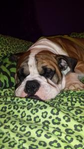 2 year old male old english bulldog Listing Image