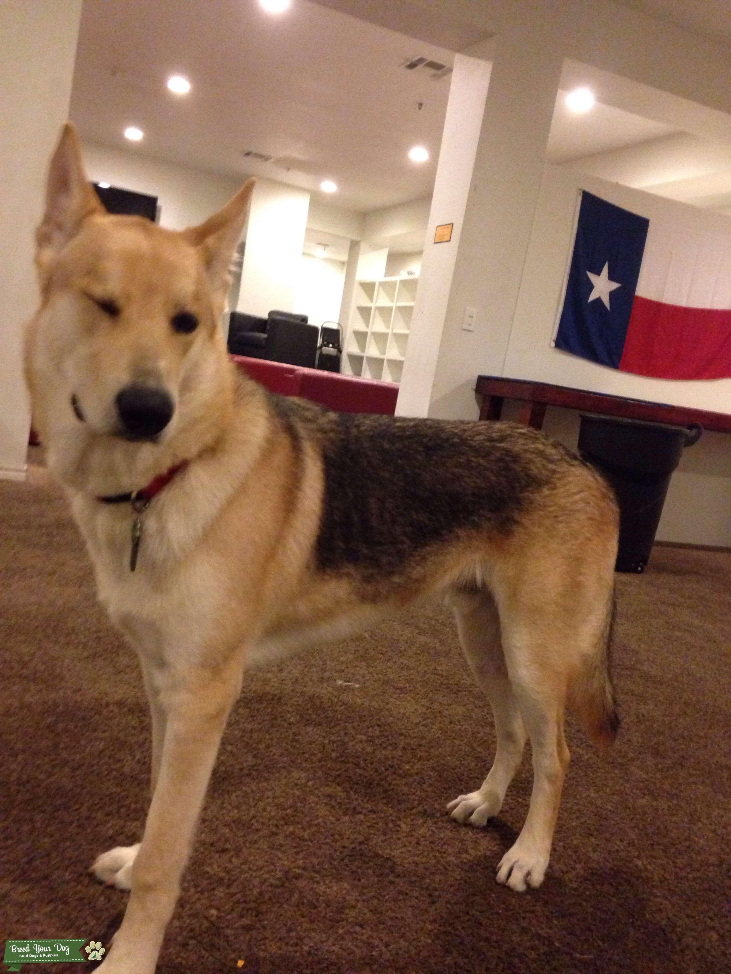 stud dog - half wolf   half german shepherd