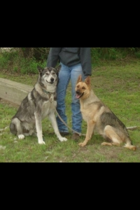 Half wolf/ half german shepherd  Listing Image Thumbnail