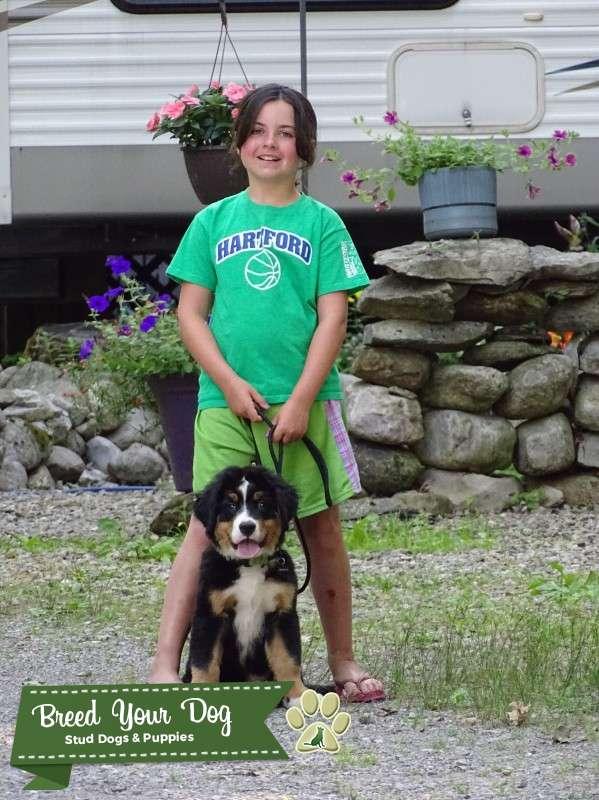 Bernese Mountain Dog Stud Listing Image Big