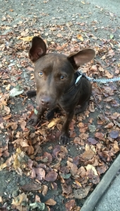 Chocolate patterdale terrier Listing Image