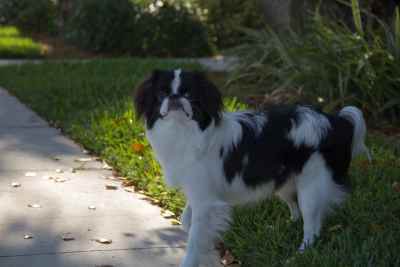Black and White Japanese Chin Listing Image