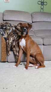 Beautiful Fawn AKC Boxer Listing Image