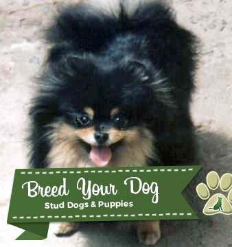 Stud Dog - AKC sired black and tan Pomeranian for stud ...