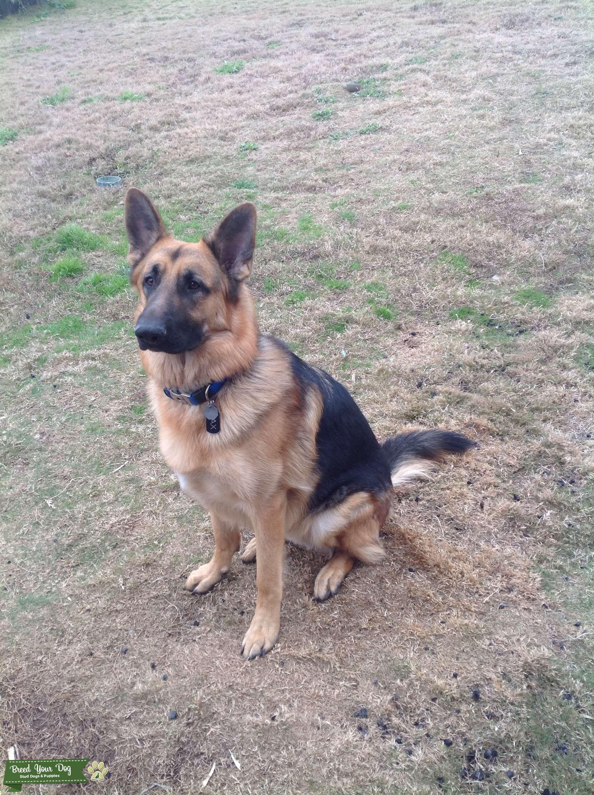 Black and Tan German Shepherd Listing Image Big