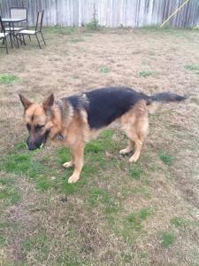 Black and Tan German Shepherd Listing Image Thumbnail