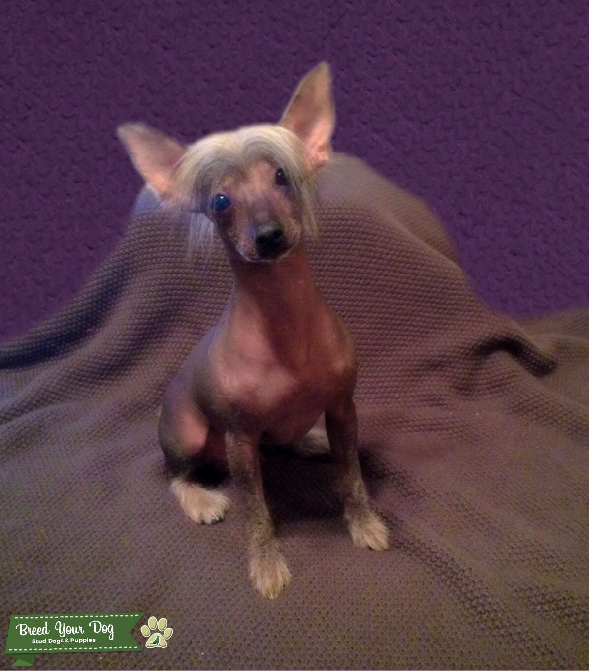 Tri colored hairy hairless Chinese Crested Listing Image Big