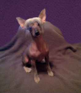 Tri colored hairy hairless Chinese Crested Listing Image