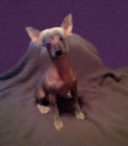 Tri colored hairy hairless Chinese Crested Listing Image Thumbnail