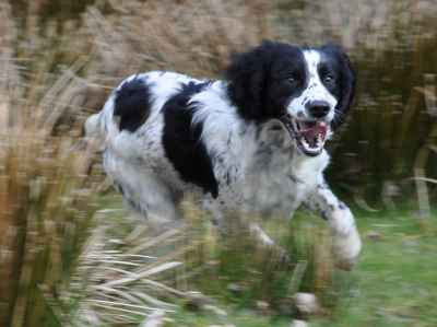 Black And White Springer Spaniel - Goldenacresdogs com