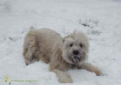 Soft Coated Wheaten Terrier - Frozen/Fresh Semen Listing Image
