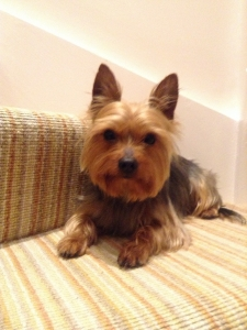 Yorkshire Terrier for stud  Featured Image