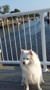 male American Eskimo needs mate to breed with Featured Image