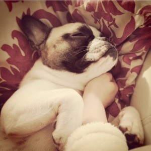 Gorgeous French Bulldog For Stud  Listing Image Thumbnail
