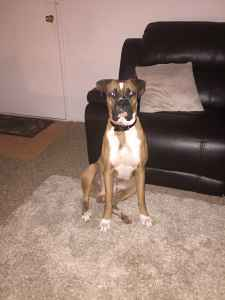 Handsome, Muscular Male Boxer Looking For His Mate Listing Image