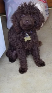 Chocolate (toy) Poodle For Stud Prcd-pra Clear Listing Image