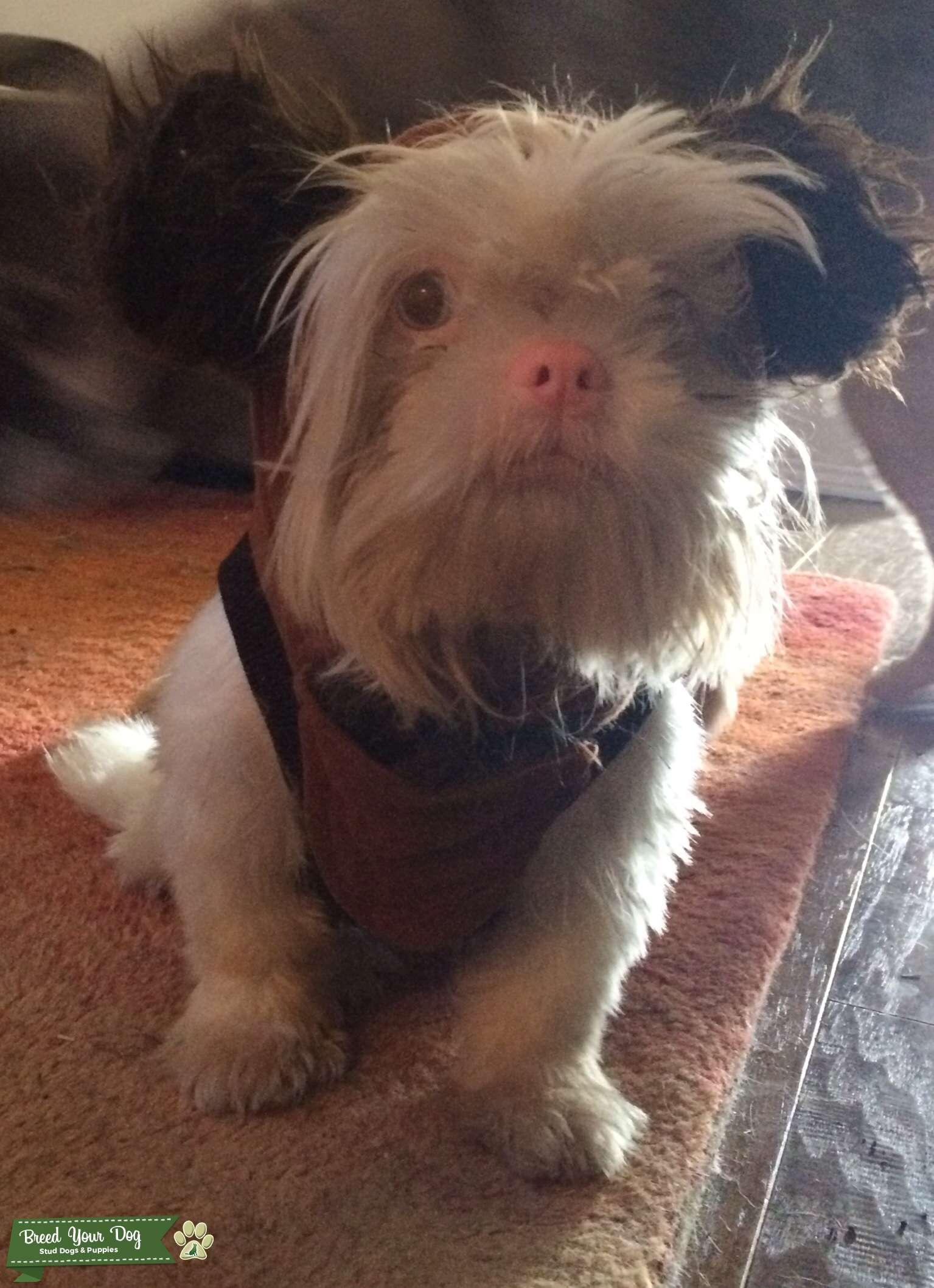 Stud Dog White Blue Eyed Shih Tzu Breed Your Dog