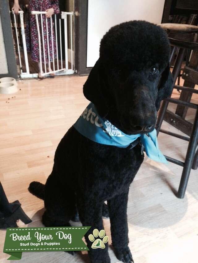 AKC Standard Black Poodle Stud Listing Image Big