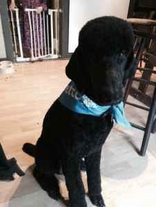 AKC Standard Black Poodle Stud Listing Image