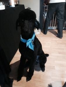AKC Standard Black Poodle Stud Listing Image Thumbnail