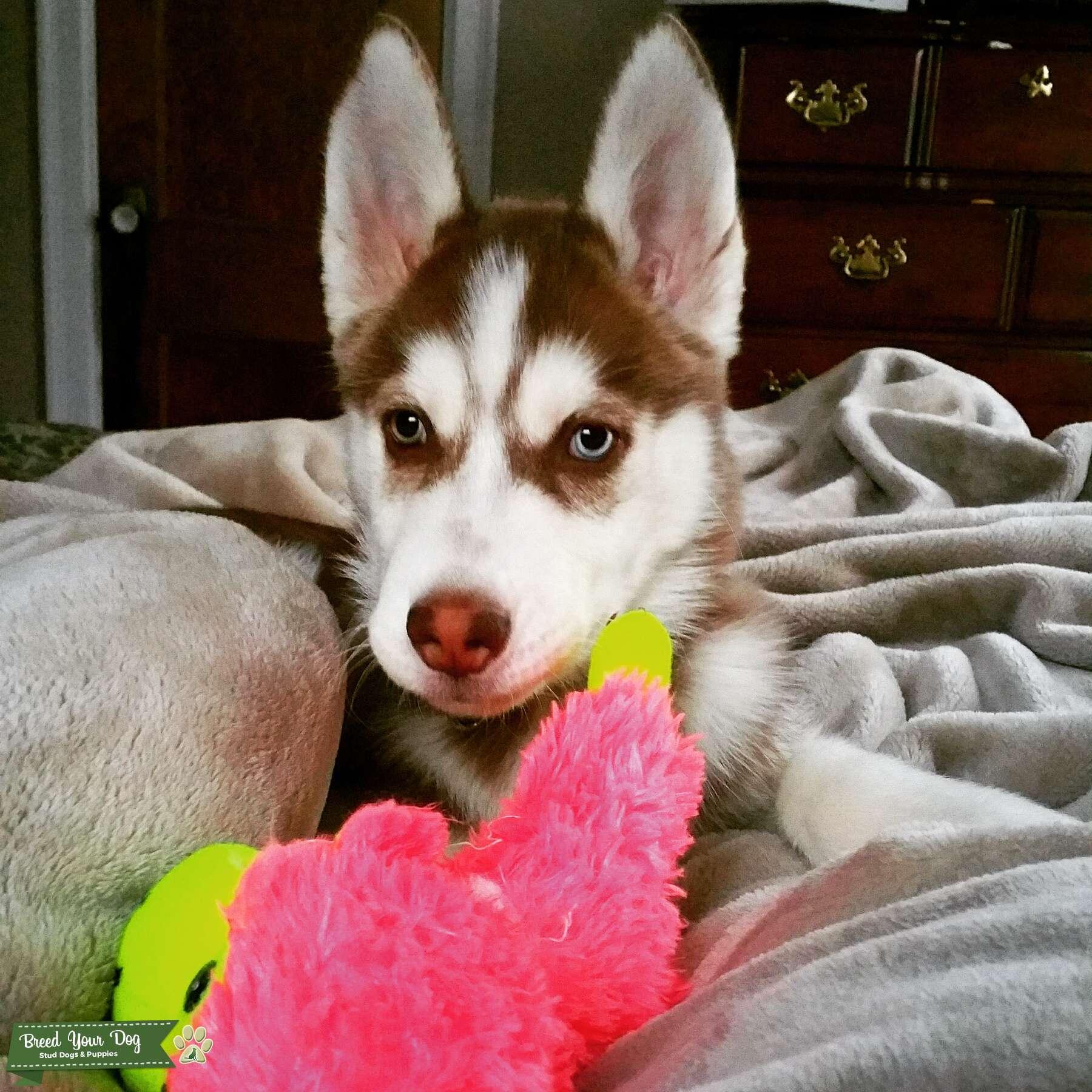 Stud Dog - CKC Registered Rare-Eyed Siberian Husky - Breed