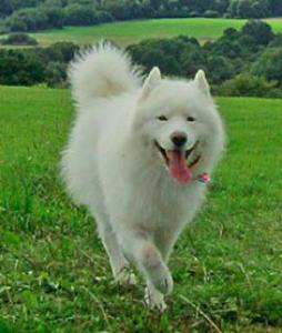 Samoyed Male Dog Available for Breeding  Listing Image
