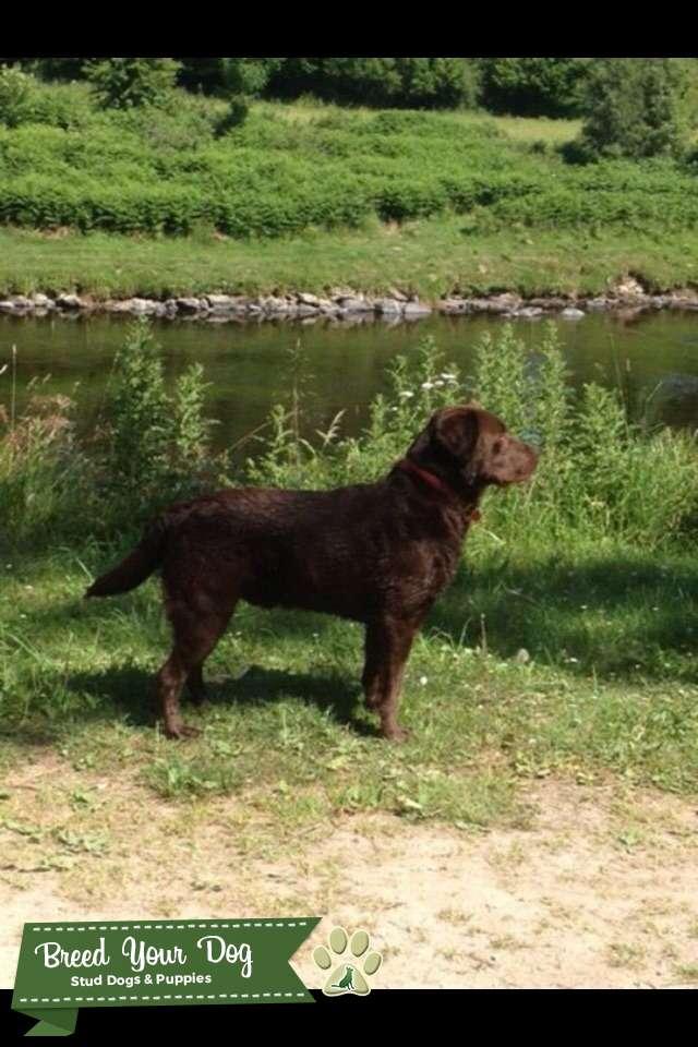 KC chocolate Labrador  Listing Image Big