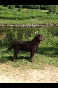 KC chocolate Labrador  Listing Image