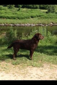 KC chocolate Labrador  Listing Image Thumbnail