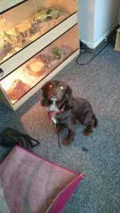 stud dog  Listing Image