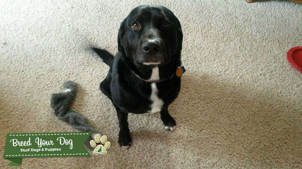 Stud Dog - Black Labrador mix with white markings - Breed ...