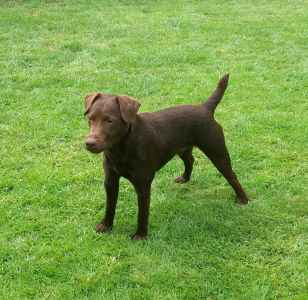 CHOCOLATE  PATTERDALE STUD DOG Listing Image